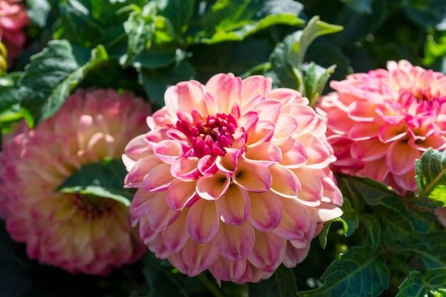 Jasne kwiaty dalii uprawiane w ogrodzie.