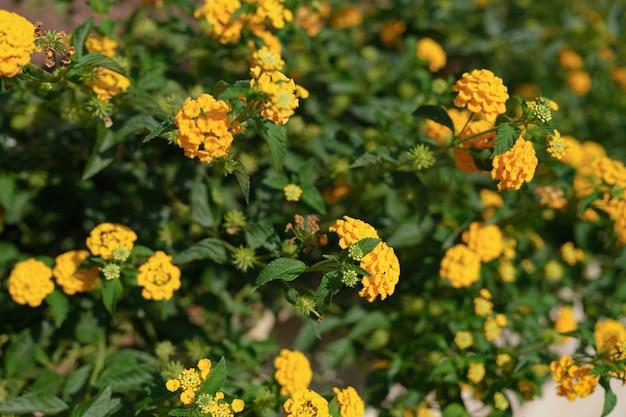 Jasne kwitnące żółte kwiaty w zbliżeniu ogrodu