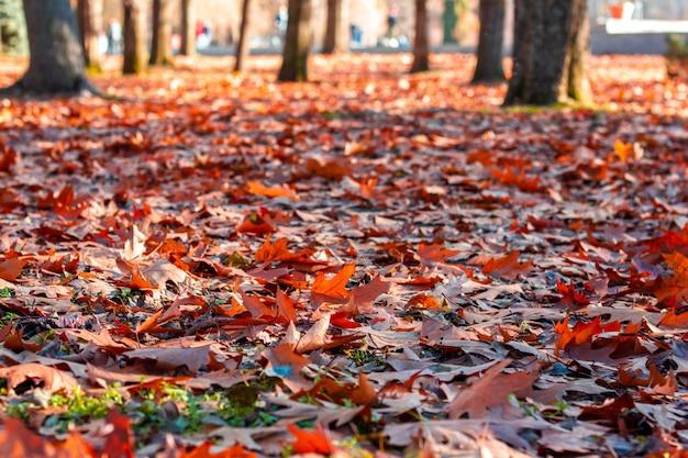 Jasne opadłe liście klonu na ziemi w jesienny dzień