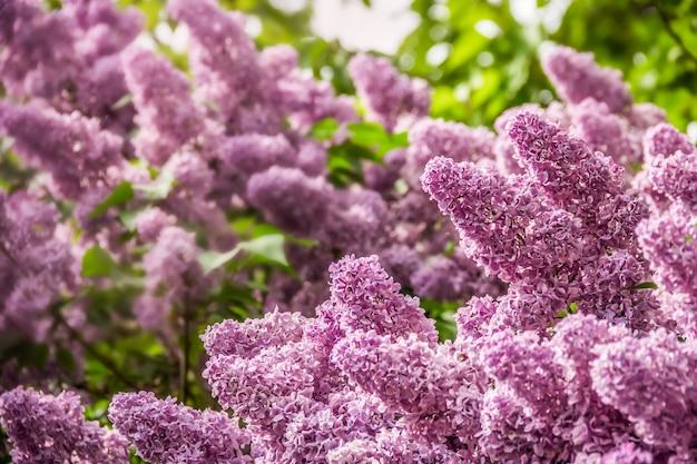 Jasne pachnące kwiaty bzu