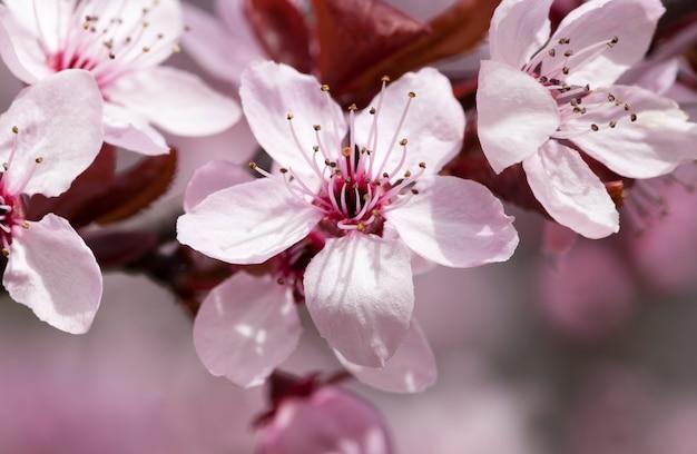 Jasne, piękne kwiaty czerwonych kwiatów wiśni w sadzie, piękne różowe kwiaty wiosną lub latem, wiśniowe kwiaty wiśni, z bliska