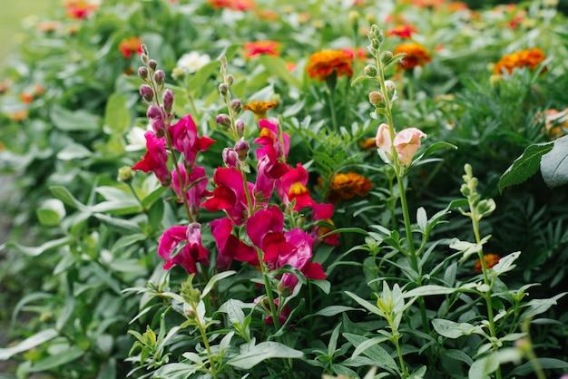 Jasne, piękne kwiaty snapdragon fuchsia rośnie latem w ogrodzie na łóżku. selektywna ostrość