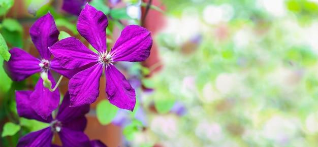 Jasne piękne kwiaty wieloletnich roślin zbliżenie fioletowe płatki powojników z miejscem na kopię