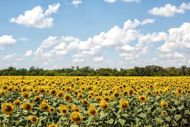 Jasne pole słoneczników w letni dzień