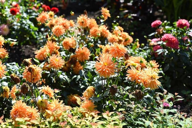 Jasne pomarańczowe kwiaty dalii