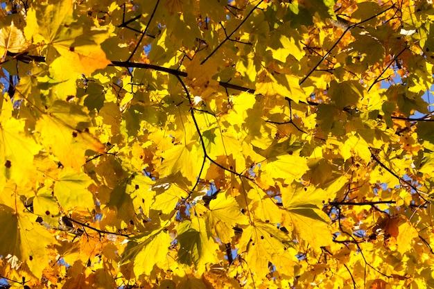 Jasne pożółkłe i oświetlone światłem słonecznym liście klonu na drzewie w sezonie jesiennym.