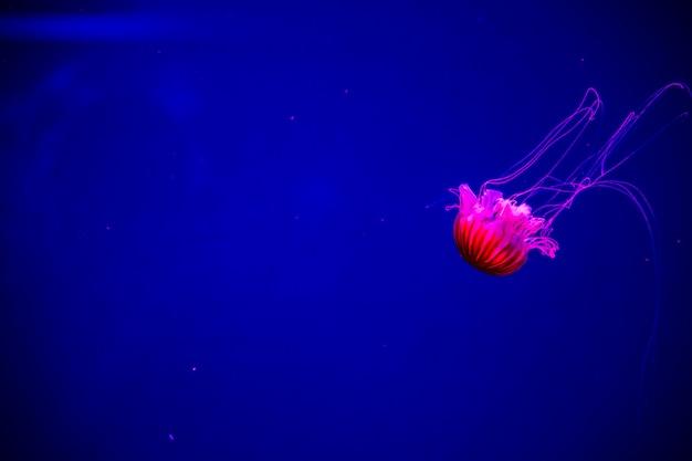Jasne, przezroczyste neonowe meduzy w akwarium