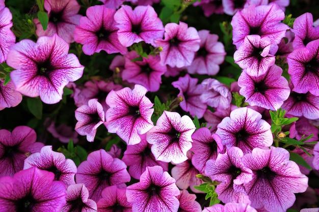 Jasne różowe kwiaty petunii na tle