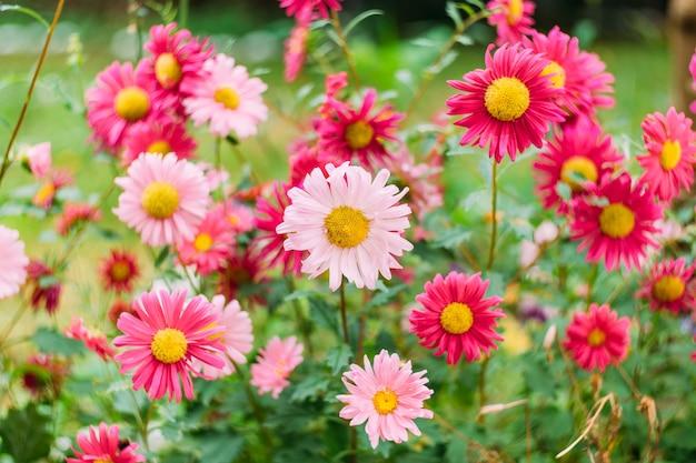 Jasne tło jesień kwiatów ogrodowych - zbliżenie różowe chryzantemy z żółtym sercem
