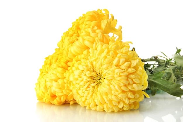 Jasne żółte chryzantemy, na białym tle na białej powierzchni