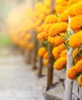 Jasne żółte kwiaty nagietka i miejsce