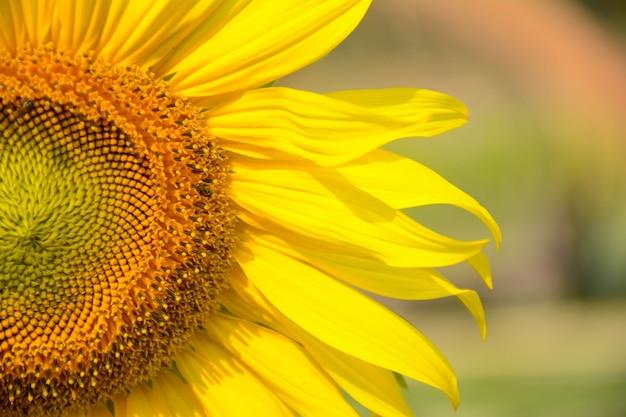 Jasne żółte słoneczniki piękne zbliżenie