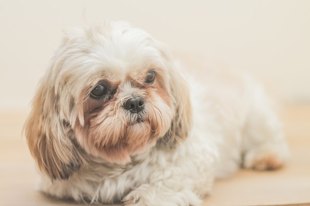 Jasnobrązowy pies rasy mal-shih przed białą ścianą