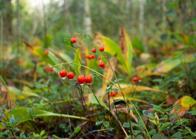 Jasnoczerwona konwalia jagody z kroplami rosy. leśna polana.