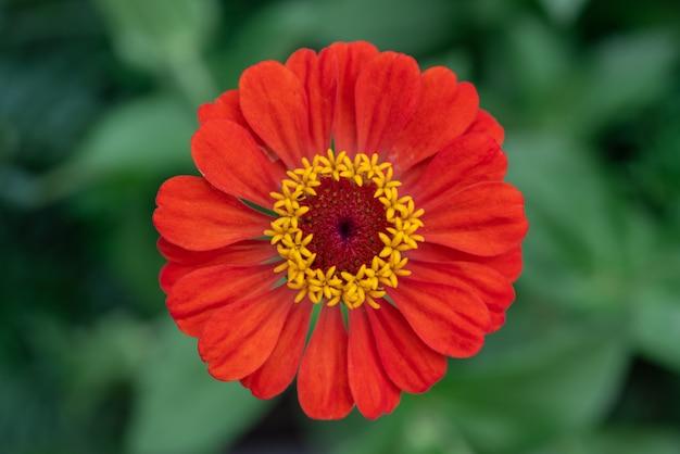 Jasnoczerwony kwiat cyni na kwietniku widok z góry, ułatwia roślinom uprawę w ogrodzie na świeżym powietrzu, piękne letnie kwiaty ogrodowe