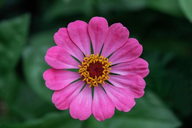 Jasnofioletowy kwiat cyni na kwietniku widok z góry, ułatwia roślinom uprawę w ogrodzie na świeżym powietrzu, piękne letnie kwiaty ogrodowe