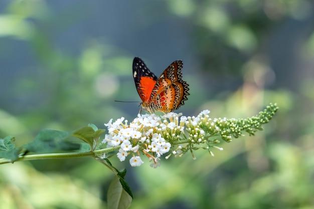 Jasnopomarańczowa cethosia hypsea lub malajski motyl sikający z rodziny nymphalidae