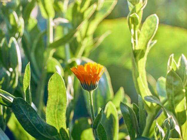 Jasnopomarańczowe kwiaty nagietka calendula officinalis