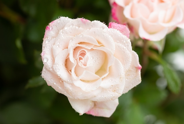 Jasnoróżowa róża z kroplami wody