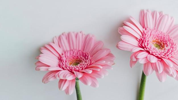 Jasnoróżowe kwiaty gerbera stokrotka na szarym tle