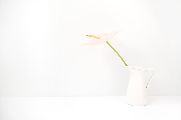 Jasnoróżowy kwiat anturium w białej konewce blisko bieli. przedni widok. kwiatowy