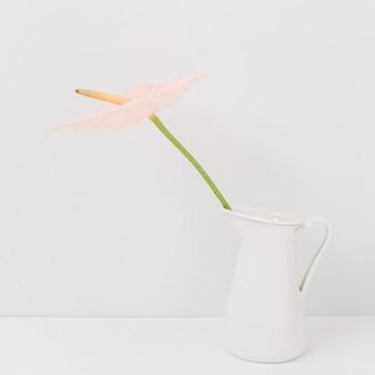 Jasnoróżowy kwiat anturium w białej konewce. przedni widok