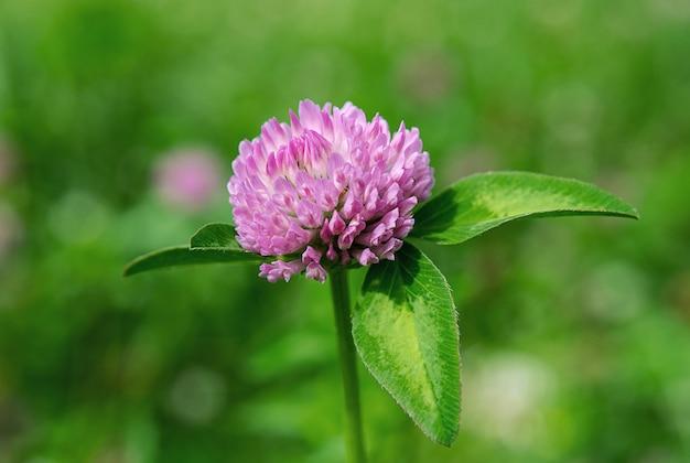 Jasnoróżowy kwiat koniczyny z bliska