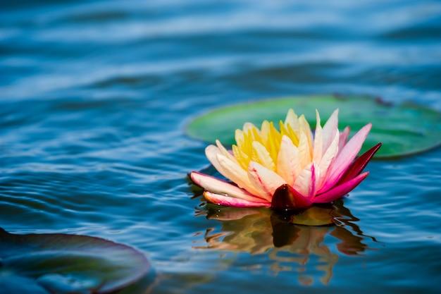 Jasnoróżowy wodna leluja lub lotos z żółtym pollen na powierzchni woda w stawie.