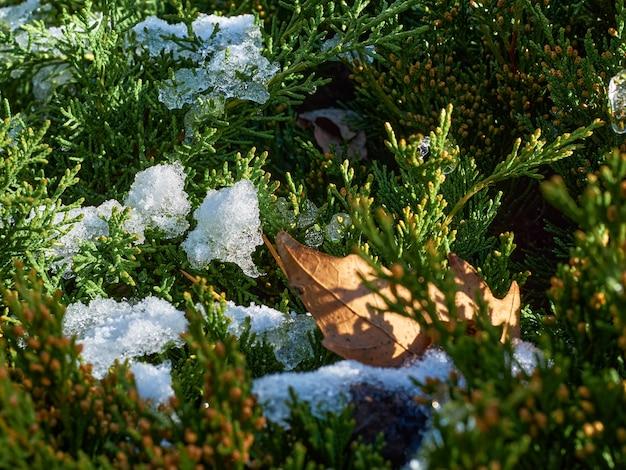 Jasnozielone gałęzie jałowca z resztkami śniegu są oświetlone słońcem