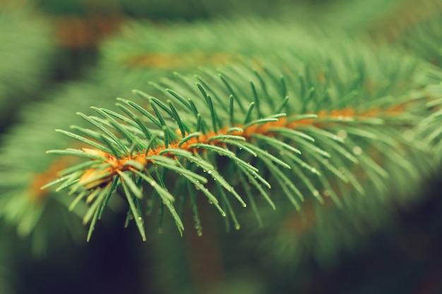 Jasnozielone kolczaste gałęzie choinkowe lub sosnowe