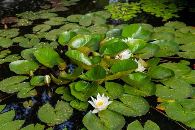 Jasnozielone liliowce pokrywają powierzchnię stawu. letnia rzeka z białymi liliami