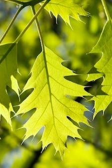 Jasnozielone liście dębu, oświetlone światłem słonecznym w sezonie wiosennym, z bliska w przyrodzie
