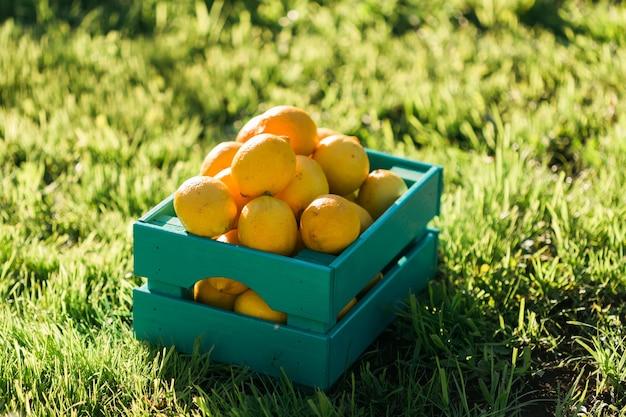 Jasnożółte dojrzałe soczyste cytryny w pudełku na trawie w ogrodowej koncepcji zbioru własnych warzyw