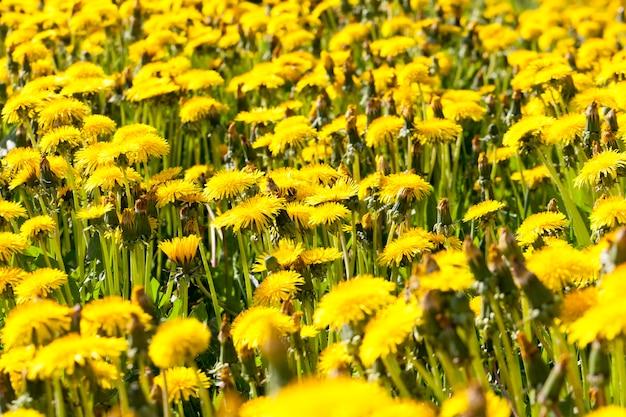 Jasnożółte kwitnące mlecze na polu w okresie wiosennym, mlecze piękne i żółte na początku kwitnienia, polne kwiaty i chwasty, zbliżenie