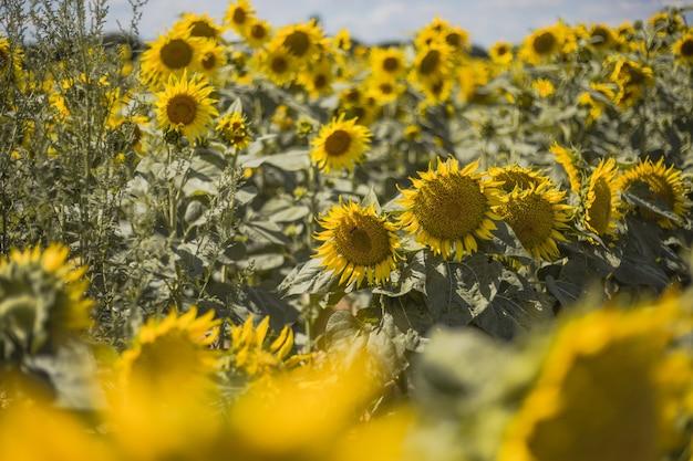 Jasnożółte kwitnące słoneczniki łąkowe na tle błękitnego nieba z chmurami słoneczny letni krajobraz natur