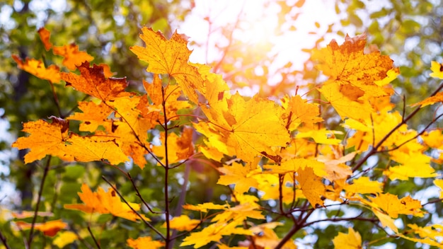 Jasnożółte liście klonu na drzewie w lesie przy słonecznej pogodzie