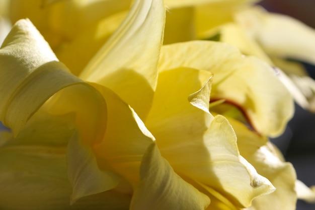 Jasnożółte naturalne tło makro zdjęć płatków lilii z selektywnym skupieniem