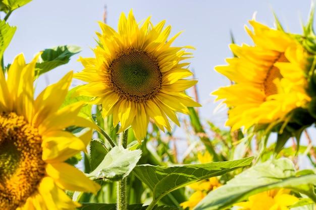 Jasnożółte płatki na żółtych słonecznikach. pole, na którym uprawia się słoneczniki do użytku w przemyśle spożywczym