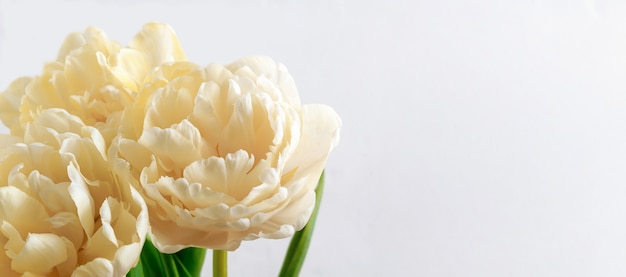 Jasnożółte tulipany frotte na jasnym tle