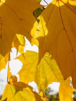 Jasnożółty klon pozostawia zbliżenie w słoneczny jesienny dzień cudowna jesienna pogoda w październiku