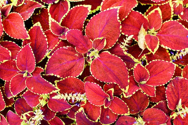 Jasny czerwony coleus tło. roślina ozdobna coleus z bliska