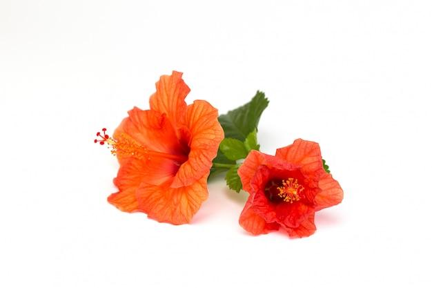 Jasny czerwony kwiat hibiskusa z zielonym liściem na białym tle.