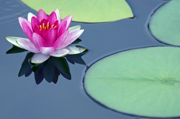 Jasny czerwony kwiat lilii lotosowej wody