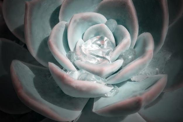 Jasny kolorowy obraz natury. zbliżenie kwiatu echeveria z pięknymi kroplami wody