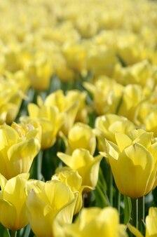 Jasny kolorowy żółty tulipan kwitnie w okresie wiosennym