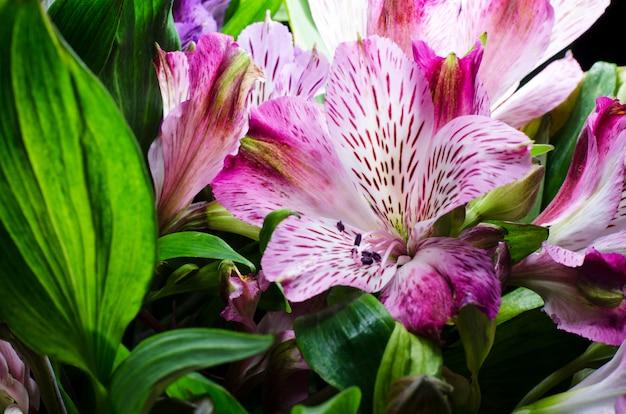 Jasny kwiat alstroemeria na czarnym tle.