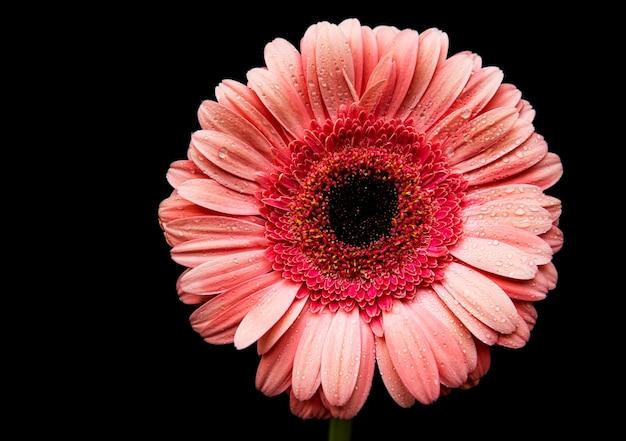 Jasny kwiat gerbera na czarnym betonie, widok z góry