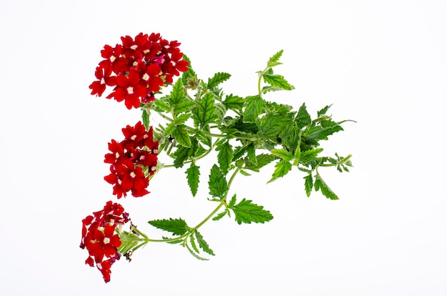 Jasny kwiat ogród odcień czerwony na białym tle. zdjęcie studyjne.