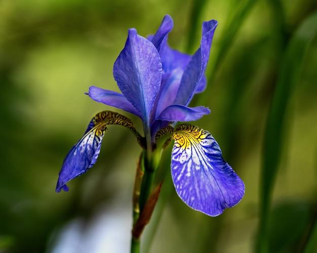 Jasny niebieski irysowy kwiat na białym tle na zielonym tle z delikatnym bokeh od światła słonecznego rano. zbliżenie.