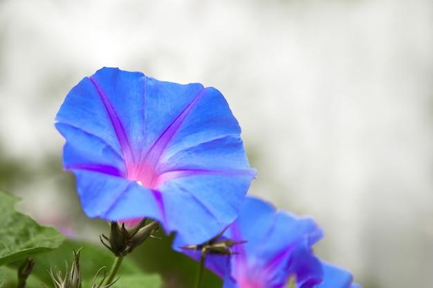Jasny niebieski powój kwiat w słoneczny poranek. pojęcie wiosny to czas alergii.